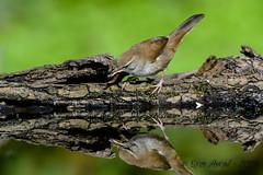 17102019-sD40_7916 (Eyas Awad) Tags: eyasawad bird birds birdwatching wildlife nature nikon usignolodifiume cettiacetti