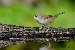 17102019-sD40_7911 (Eyas Awad) Tags: eyasawad bird birds birdwatching wildlife nature nikon usignolodifiume cettiacetti