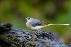 17102019-sD40_7775 (Eyas Awad) Tags: eyasawad bird birds birdwatching wildlife nature nikon ballerinagialla motacillacinerea