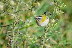 13102019-sDSC_7926 (Eyas Awad) Tags: eyasawad bird birds birdwatching wildlife nature nikon fiorrancino regulusignicapilla