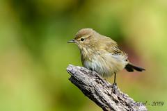 12102019-sDSC_7822 (Eyas Awad) Tags: eyasawad bird birds birdwatching wildlife nature nikon luìpiccolo phylloscopuscollybita