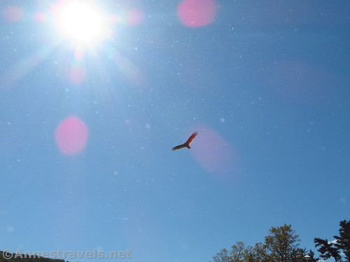 Turkey Vulture in the Sky