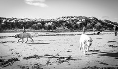 Looking for Doris . (wayman2011) Tags: colinhart fujifilm23mmf2lightroom5 fujifilmxe2s wayman2011 bw mono coast beach seaside dogs northumberland seahouses uk