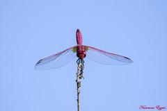 Trithémis annelé ou pourpré (Ezzo33) Tags: trithemisannulata france gironde nouvelleaquitaine bordeaux ezzo33 nammour ezzat sony rx10m3 parc jardin insecte insectes specanimal libellule dragonfly trithémisannelé pourpré