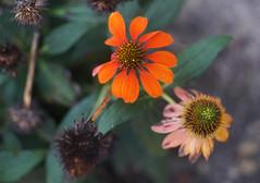 DSC02157 (Lens Lab) Tags: sony a7r olympus zuiko olympuschromesix 75mm 75cm f28 plants garden flowers echinacea coneflower