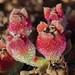 IJskruid (mesembryanthemum crystallinum)