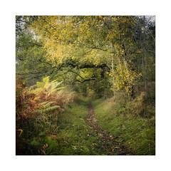 On Track (gerainte1) Tags: yorkshiredales autumn colour leaves trees woodland woods film velvia50 hasselblad501