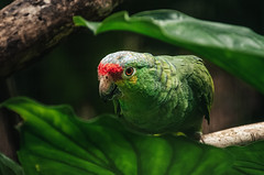 Red lored parrot (proyectoasis) Tags: