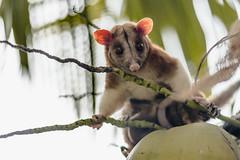 Central American Woolly Opossum / Español: Zorro de Balsa (proyectoasis) Tags: