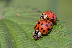 couple (Bea Antoni) Tags: canon makro macro closeup wildlife couple sommer summer nature natur insects insect insekten insekt marienkäfer käfer beetle ladybugs bugs