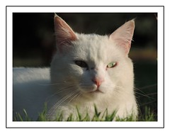 chat blanc (Christ.Forest) Tags: chat blanc cats félin gatto fauna animal felino white eyes