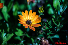 Hidden in the shade (N11) (red.richard) Tags: flower gold leaves shade petals green nikon d800