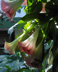 kerala flowers (3) (kexi) Tags: kerala india asia flowers datura pink green vertical nature samsung wb690 february 2017 instantfave
