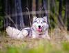 IMG_0878 (jeffreyshanor) Tags: dog doggo dogs pup puppies puppers woof wolf husky huskies pets furry fur hiking nature mountains wyoming lulu photography walk outside national friends
