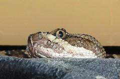 Rattlesnake Friday! (EcoSnake) Tags: rs4 greatbasingophersnake crotalusoreganuslutosus snakes reptiles education