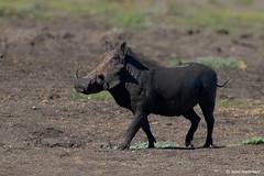 Warthog, male (leendert3) Tags: leonmolenaar southafrica krugernationalpark wildlife wilderness wildanimal nature naturereserve naturalhabitat mammal warthog naturethroughthelens ngc npc