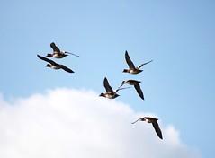 Wigeon wings (ekaterina alexander) Tags: wigeon wings flight eurasian ducks flying anas penelope grey white chestnut feathers england sussex pagham harbour wild bird waterbird sky clouds ekaterina alexander nature photography pictures autumn