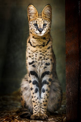 The Serval (Gari VALDEN) Tags: canon felin 300mm bokeh beauty portrait fauve chat serval animal felidae gari valden france switzerland suisse 2019 beauté feline cat nature