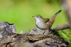 17102019-sDSC_8100 (Eyas Awad) Tags: eyasawad bird birds birdwatching wildlife nature nikon usignolodifiume cettiacetti