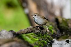 17102019-sDSC_8094 (Eyas Awad) Tags: eyasawad bird birds birdwatching wildlife nature nikon usignolodifiume cettiacetti