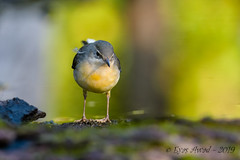 17102019-sDSC_8048 (Eyas Awad) Tags: eyasawad bird birds birdwatching wildlife nature nikon ballerinagialla motacillacinerea