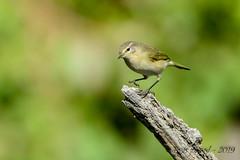 17102019-sD40_8028 (Eyas Awad) Tags: eyasawad bird birds birdwatching wildlife nature nikon luìpiccolo phylloscopuscollybita