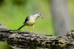17102019-sD40_7982 (Eyas Awad) Tags: eyasawad bird birds birdwatching wildlife nature nikon ballerinagialla motacillacinerea