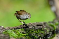 17102019-sD40_7971 (Eyas Awad) Tags: eyasawad bird birds birdwatching wildlife nature nikon usignolodifiume cettiacetti