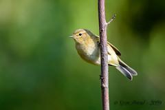 12102019-sDSC_2815 (Eyas Awad) Tags: eyasawad bird birds birdwatching wildlife nature nikon luìpiccolo phylloscopuscollybita