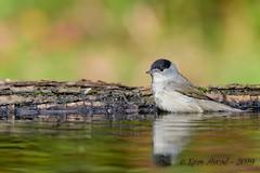11102019-sDSC_7816 (Eyas Awad) Tags: eyasawad bird birds birdwatching wildlife nature nikon capinera sylviaatricapilla