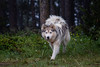 IMG_1368-2 (jeffreyshanor) Tags: dog doggo dogs pup puppies puppers woof wolf husky huskies pets furry fur hiking nature mountains wyoming lulu photography walk outside national friends