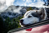 IMG_0745 (jeffreyshanor) Tags: dog doggo dogs pup puppies puppers woof wolf husky huskies pets furry fur hiking nature mountains wyoming lulu photography walk outside national friends