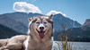 _1090106 (jeffreyshanor) Tags: dog doggo dogs pup puppies puppers woof wolf husky huskies pets furry fur hiking nature mountains wyoming lulu photography walk outside national friends