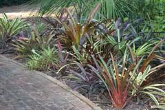 bromeliad bed (richtrav) Tags: distichantha x fulgens cruenta rubra spotted hybrid