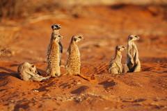 Meercats at Sundown (DeniseKImages) Tags: wildlife africa meercat meercats kalahari kalaharidesert sand red redsand desert southafrica nature wild animal animals wildanimals wildanimal