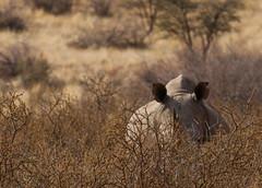 Hiding in Plain Sight (DeniseKImages) Tags: wildlife africa rhino rhinos rhinoceros whiterhino whiterhinoceros southafrica nature wild animal animals wildanimals wildanimal bigfive
