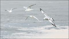 (c)WMH_2019_10_18 Bonaparte's Gulls In Flight (4) (WesleyHowie) Tags: birds bonapartesgull canada coleharbour gull location novascotia saltmarshtrail wildlife