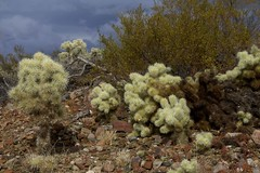 Teddy Bear Cholla Cactus (Cylindropuntia bigelovii), Zapata Wash, Arizona (Lon&Queta) Tags: 2017 arizona cacti chollacacti desert gps galiuromountains landscapes pinalcounty sanpedrorivervalley teddybearchollacactuscylindropuntiabigelovii usa unitedstatesofamerica