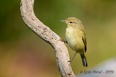 12102019-sDSC_2804 (Eyas Awad) Tags: eyasawad bird birds birdwatching wildlife nature nikon luìpiccolo phylloscopuscollybita