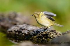 11102019-sDSC_2783 (Eyas Awad) Tags: eyasawad bird birds birdwatching wildlife nature nikon luìpiccolo phylloscopuscollybita