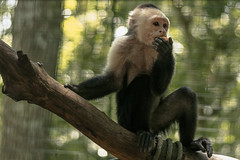 Monkeys (proyectoasis) Tags: mammal monkey monkeys mammals mono monos animals animal animales nature naturaleza natura natural nikon nopet notapet