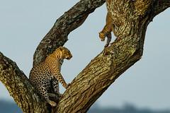 "In a Mother's Footsteps  3602 (Dr DAD (Daniel A D'Auria MD)) Tags: leopard cat cats feline ""bigcats"" ""catsofafrica"" ""bigfive"" mammals wildlife animals nature ""wildlifephotography"" ""naturephotography"" africa tanzania ""children'swildlifebooksbydanielad'auriamd"" ""drdadbooksc"" ""danielad'auriamd"" ""2014"" ""2013"""