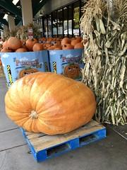 291/365: It's the Great Pumpkin! (jchants) Tags: project365 365the2019edition 3652019 day291365 18oct19 pumpkin pumpkins halloween