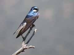 Tree Swallow fledgling (Bug Eric) Tags: animals wildlife nature outdoors birds birding birdwatching ornithology songbirds swallows redrockcanyonopenspace coloradosprings colorado treeswallow fledgling northamerica july212019