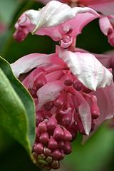Medinilla magnifica... a pink glory! (jungle mama) Tags: medinillamagnifica pink cluster seed fairchildtropicalbotanicgarden fairchildgarden susanfordcollins windowstothetropics bract