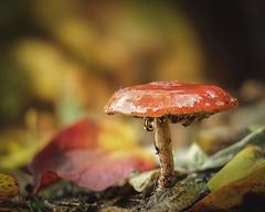 'Autumn' 🍁 (Jeannette Maandag) Tags: mushroom autumn fujixt3 bokehful dof 25mmartisanjpg waterdrops colors herfstkleuren paddenstoel kleuren soft