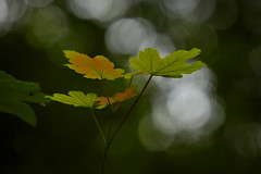 Plaffeien – Leaves (Thomas Mulchi) Tags: plaffeien cantonoffribourg switzerland 2019 forest plants plant leaves