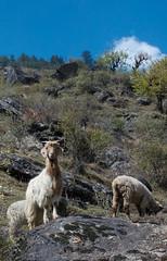King of the Mountain ([Kevin] [McCarthy]) Tags: animals nature goal ram hairy trail hike dirt road trees brush india uttarakhand hiking trekking blue sky king proud pride