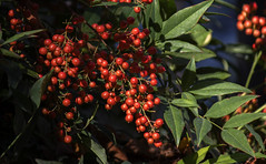 Red berries (II) (Alfredo Liverani) Tags: freitagsblümchenfridayflora freitagsblümchen fridayflora friday flora ff 7dwfff canon m50 eos eosm50 canoneosm50 eoskissm canonm50 pointandshoot point shoot ps flickrdigital flickr digital camera cameras