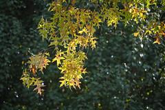 Autumn Oak Leaves (Modkuse) Tags: oakleaves autumn autumnleaves tree nature natural art artphotography artistic artisticphotography photoart fineartphotography fineart classicchrome fujifilmxt2classicchrome color colorful fujifilm fujifilmxt2 fujinon xt2 fujinonxf55200mmf3548rlmois xf55200mmf3548rlmois